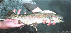 A typical Colorado River rainbow from the Lee's Ferry stretch of water in Arizona.